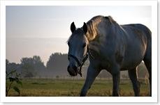 Pferde_am_Morgen1