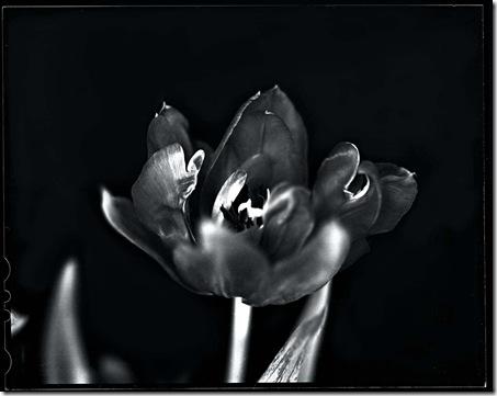 Tulpe_1